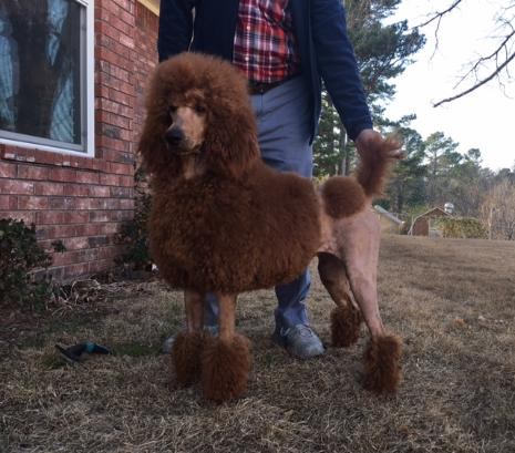 Murray Toy Miniaturedark Red Standard Poodlesred Toy Poodle