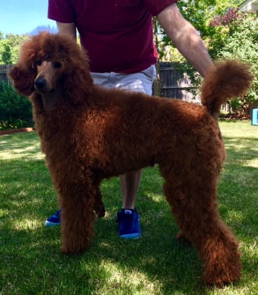 Murray Toy Miniaturedark Red Standard Poodlesred Toy