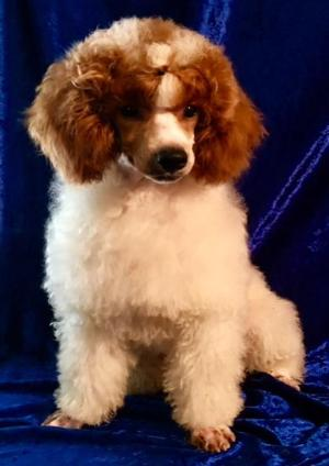 Murray Toy & Miniature,Dark Red Standard Poodles,Red toy poodle