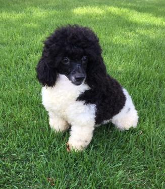 Image Result For Miniature Poodles For Sale In Arkansas