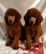 Murray Toy & Miniature,Dark Red Standard Poodles,Red toy